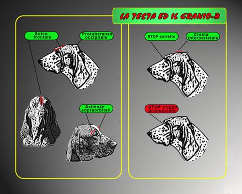 04-testa cranio-b